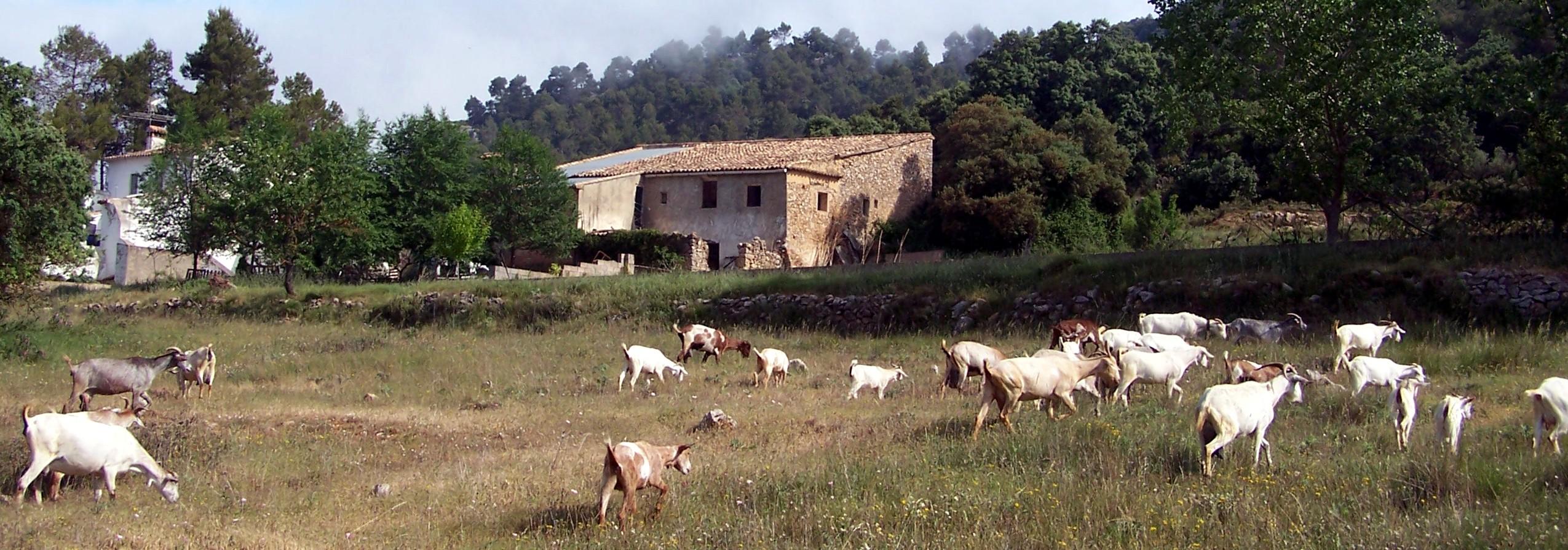 cabras en cortafuegos